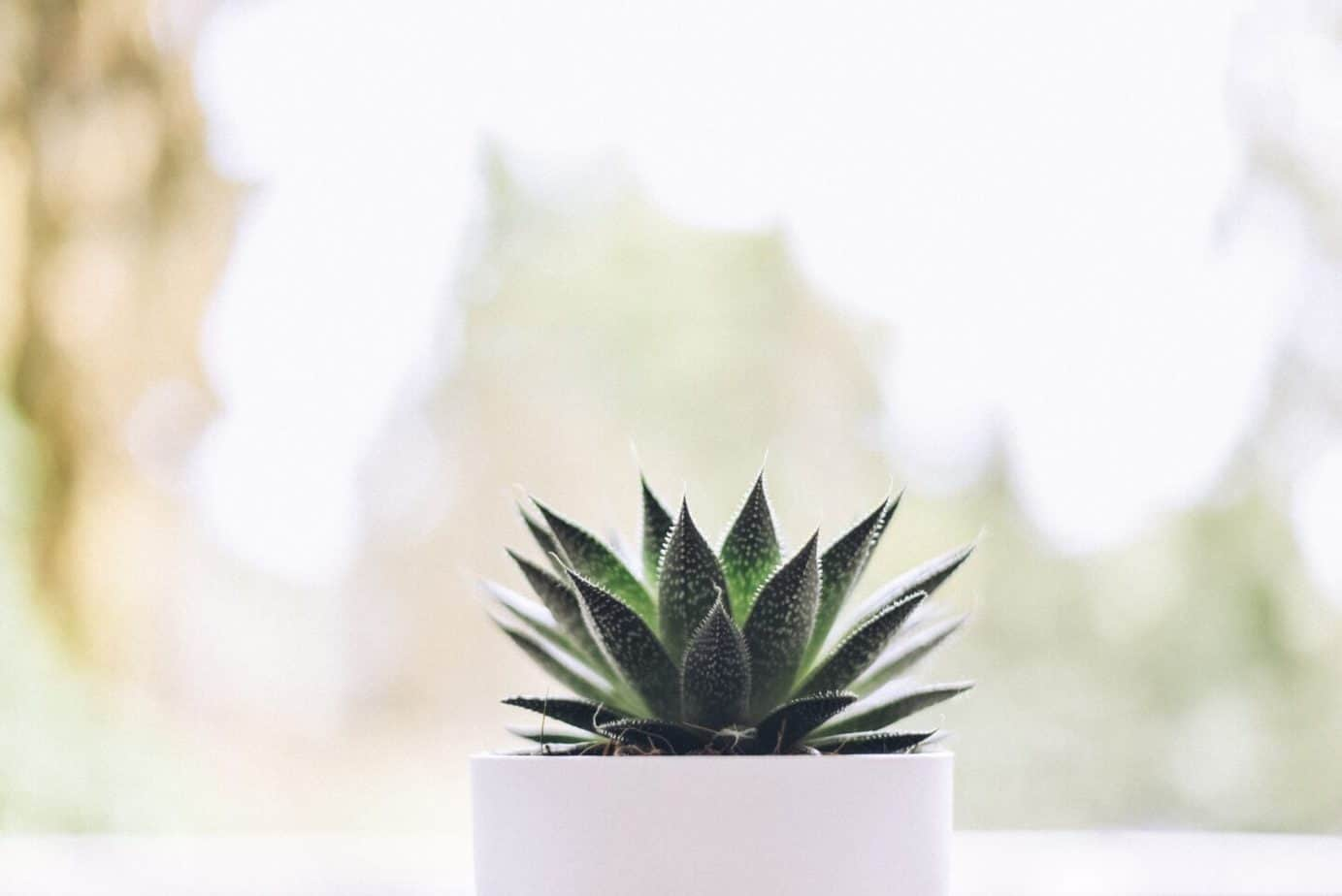 Aloe Vera houseplant in a white pot